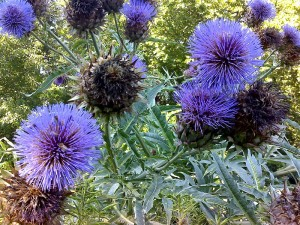 Cardoon Bloom